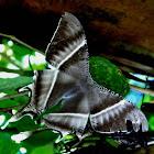 Giant Uranid, Tropical Swallowtail, Grey Sunset