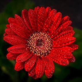 Revamp by Yu Tsumura - Flowers Single Flower ( plant, single, red flower, flora, gerbera, close-up, water drop, up, macro, red, nature, single flower, beatuiful, above, stamen, head, flower, petal, green,  )