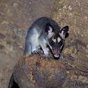 Gray Four-eyed Opossum