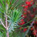 Unknown Evergreen