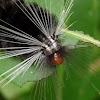 Arctiid Moth Caterpillar