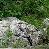 Lagarto. Mwanza Flat-headed Rock Agama