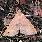 Moth - Bent-winged Owlet
