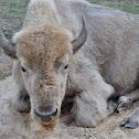 white buffalo (American bison)