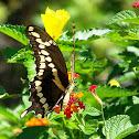 Eastern Giant Swallowtail Butterfly