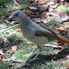 Satin Bowerbird (female or juvenile male)