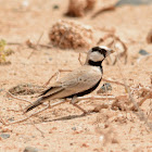 Black-crowned sparrow lark(male)