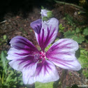 Striped Malva
