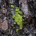 American wolf lichen