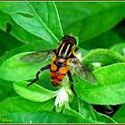 Wasp-mimicking Hoverfly
