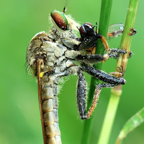 Robberfly by Edwin Yepese - Animals Other ( macro photography, insects, animal )