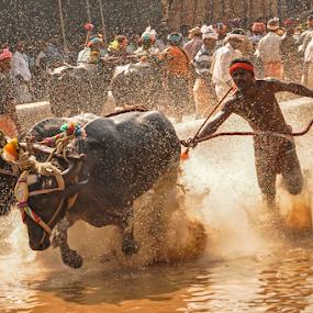 Kambla (Buffalo Race) by Ramya Raju - News & Events Entertainment ( kambla, india., speed, tulunadu, buffalo race, karnataka,  )