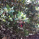 Toyon (aka Hollywood)