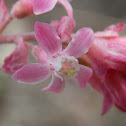 Coast Flowering Currant