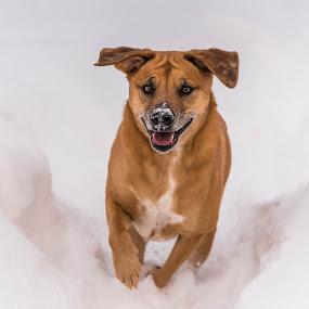 by Michael Last - Animals - Dogs Running ( dog running, winter, snow, dog playing, dog,  )