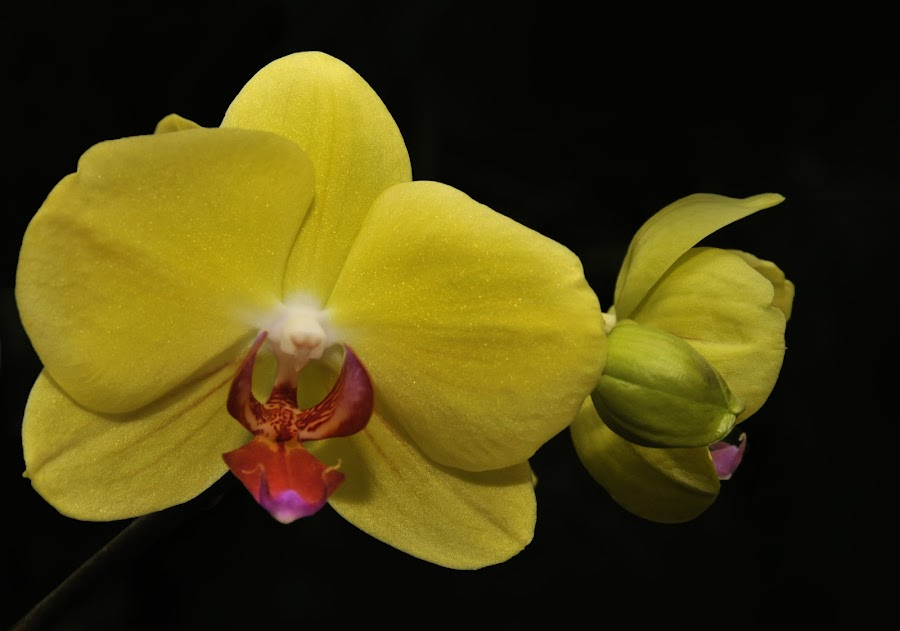 Emergence in Yellow by Dennis Rubin - Flowers Single Flower ( orchid, splendor, yellow, floral,  )