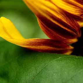 Sun Petals by Mary Gerakaris - Flowers Single Flower ( beautiful flower, floral photography, corporate office art, flora, art photography, macro photography, sunflower,  )