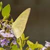 Common or Lemon Emigrant