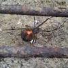 Brown Widow Spider