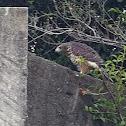 Roadside Hawk (juvenile)