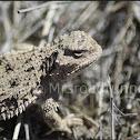 Pygmy Short Horned Lizard