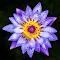 purplelily.jpg