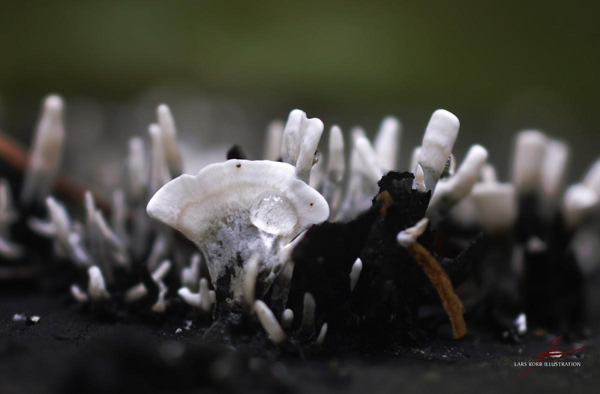Candlestick Fungus