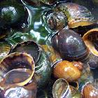 Apple Snail / Golden Kuhol