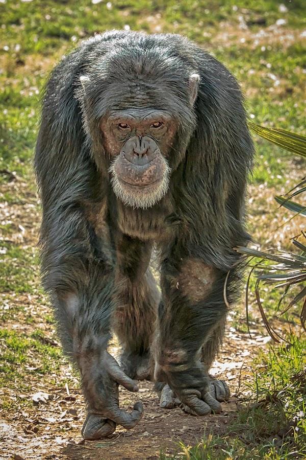 Chimp by Carol Plummer - Animals Other Mammals