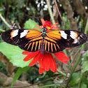 Doris Long Wing Butterfly