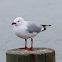 Red-billed Gull