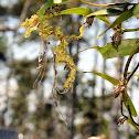 mating moss mimic walking stick