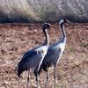 Crane; Grulla Común