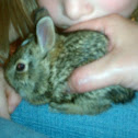 Eastern Cottontail bunny