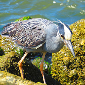 Blue Heron on the Hunt by Tanya Washburn - Animals Birds ( chesapeake, boulders, blue, heron, crabs,  )