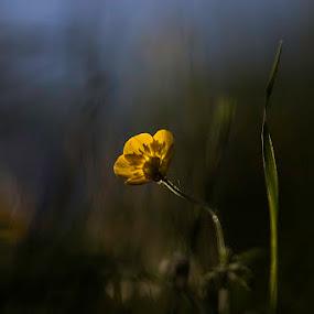 the golden lady by Lucija Janša - Flowers Single Flower ( nature, green, yellow, dof, closeup, flower )