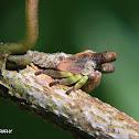 Sundarion treehopper nymph