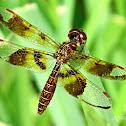 Female Eastern Amberwing Dragonfly