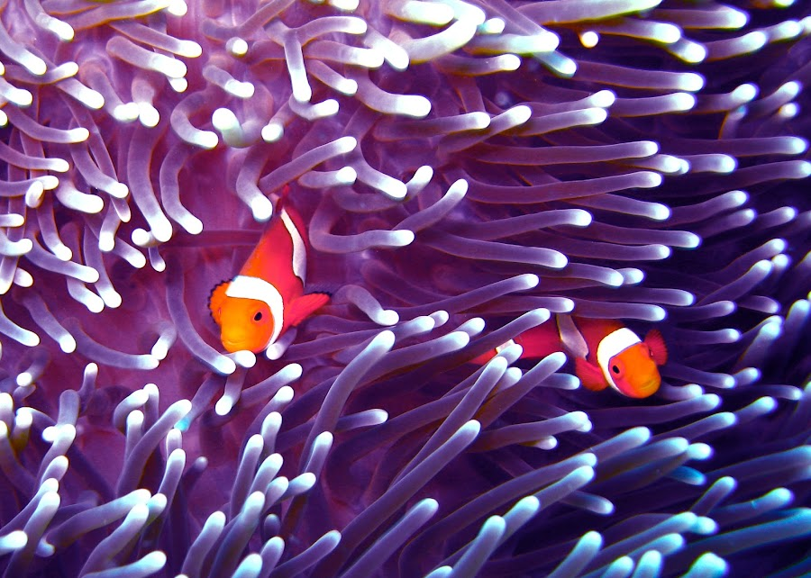2 Nemos by James Demetrie - Animals Fish ( fish, anemone, scuba, nemo, anemones )
