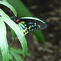 Cairns birdwing butterfly - male