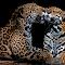 Jaguar 023.jpg