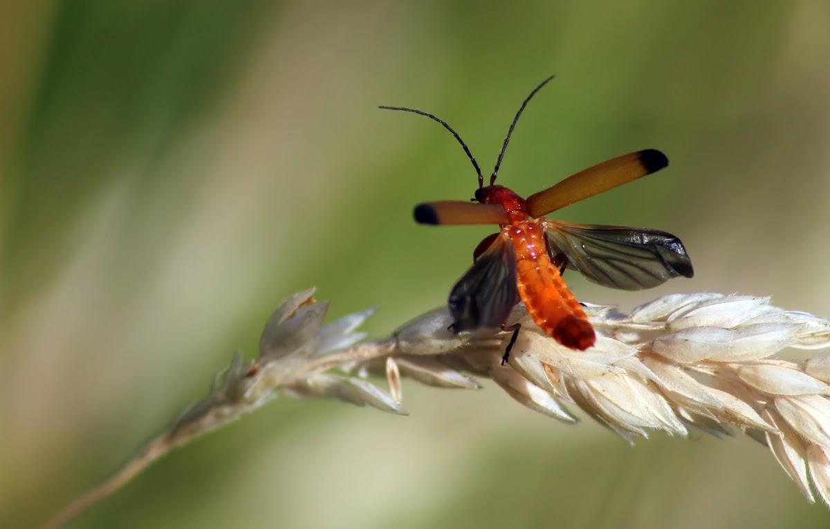 Common Cardinal Beetle
