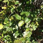 Large Whitegreen