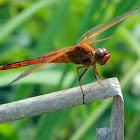 Needham's Skimmer dragonflies (male)