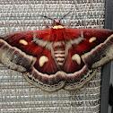 Columbia Moth