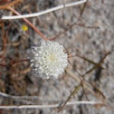 Desert Pincushion