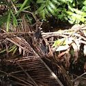 Common Moorhen