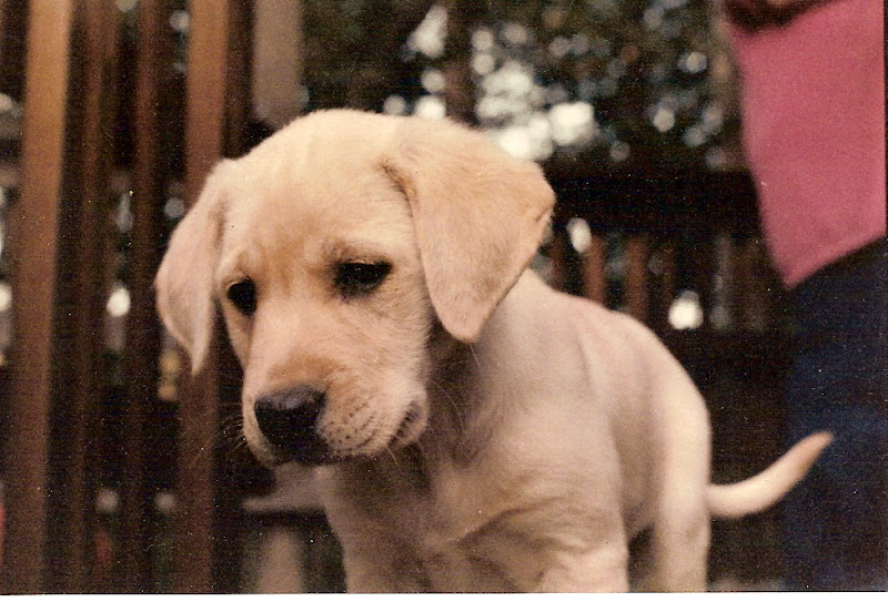Scoter as a puppy