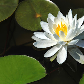 Solitary Lily by Sharon Horn - Flowers Single Flower ( water, lily, water flowers, water lily, flower )