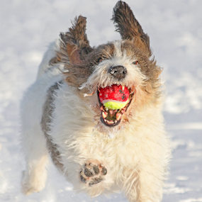 Yahoo! by Mia Ikonen - Animals - Dogs Playing ( ball, retrieving, finland, fun, canine, playing, petit basset griffon vendéen, winter, happy, pet, snow, action, dog, motion, mia ikonen,  )
